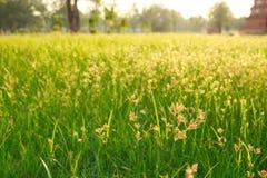 Foco macio do softlight da pastagem do verão da grama verde Imagem de Stock Royalty Free