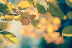 Foco macio e cor do fundo outonal do vintage da folha Fotos de Stock