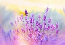 Foco macio em flores bonitas da alfazema imagem de stock