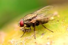 Foco macro da mosca com fundo macio Fotografia de Stock