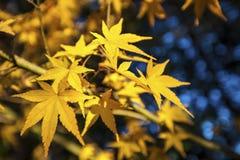 Foco muy bajo amarillo de las hojas de arce del otoño Fotografía de archivo