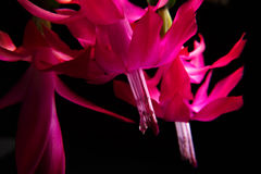 Foco profundo de flores rojas y de hojas aisladas en un fondo negro flor macra decembrista Schlumberger de la flor Imagenes de archivo