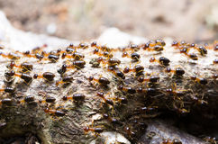 Foco seleccionado de un grupo de termita que emigra al nuevo lugar Foto de archivo