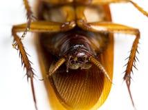 Foco seleccionado de una vuelta de la cucaracha de la muerte cara arriba en el fondo blanco Imagenes de archivo