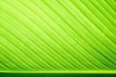 Foco selectivo de la hoja verde del plátano Fotos de archivo