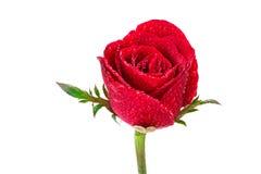 Foco selectivo de la superficie roja mojada del pétalo color de rosa Imagenes de archivo