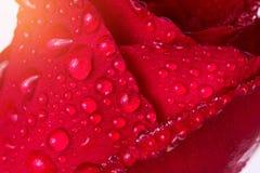 Foco selectivo de la superficie roja mojada del pétalo color de rosa con profundidad baja Fotos de archivo