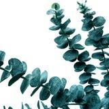 Foco selectivo de las hojas del eucalipto con el fondo blanco del color Para el diseño de la decoración colección botánica de la  foto de archivo libre de regalías