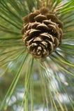 Foco selectivo del cono del pino Foto de archivo libre de regalías