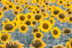 Foco selectivo del girasol de la plena floración Imágenes de archivo libres de regalías