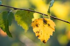 Foco selectivo del otoño del abedul del primer amarillo de la hoja Foto de archivo libre de regalías