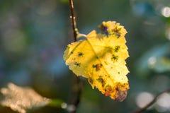 Foco selectivo del otoño del abedul del primer amarillo de la hoja Imagen de archivo libre de regalías