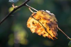 Foco selectivo del otoño del abedul del primer amarillo de la hoja Fotografía de archivo