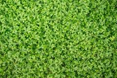 Foco selectivo del pequeño fondo verde de la hoja, texturizado Foto de archivo