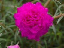 Foco selectivo en el oleracea en jardín, cierre de Portulaca de la flor para arriba Foto de archivo libre de regalías