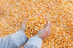 Foco selectivo en la semilla del maíz para el pienso a disposición Fotografía de archivo