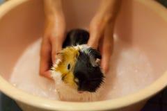 Foco selectivo en los conejillos de Indias marrones blancos, negros, anaranjados que toman un baño en la tina de baño El conejill Imagen de archivo