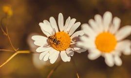 Foco selectivo en una manzanilla de polinización de la abeja Flores de la margarita blanca en el fondo de la naturaleza Imagen de archivo