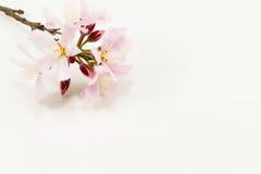 Foco selectivo suave de flores rosadas en el fondo blanco Imagenes de archivo