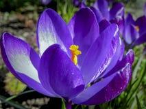 Foco selectivo suave del primer Ruby Giant Crocus púrpura en un día de primavera soleado fotografía de archivo libre de regalías