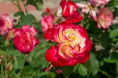 Foco seletivo da rosa do vermelho e do amarelo imagem de stock royalty free