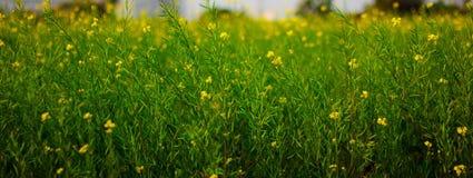 Foco seletivo de flores amarelas da mostarda em plantas coloridas verdes da mostarda no campo aberto largo imagem de stock royalty free