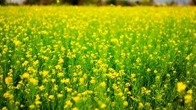 Foco seletivo de flores amarelas da mostarda em plantas coloridas verdes da mostarda no campo aberto largo fotografia de stock royalty free