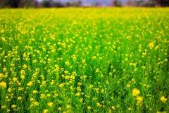 Foco seletivo de flores amarelas da mostarda em plantas coloridas verdes da mostarda no campo aberto largo foto de stock royalty free