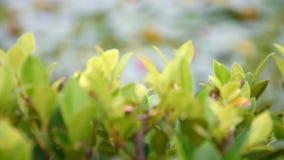 Foco seletivo e contínuo das folhas verdes na árvore video estoque
