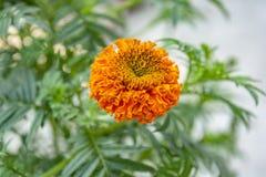 Foco seletivo em uma flor alaranjada do cravo-de-defunto com fundo verde imagem de stock royalty free