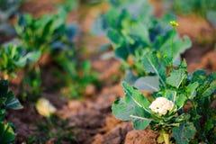 Foco seletivo isolado das plantas da couve plantadas nas fileiras na exploração agrícola com o solo escavado pronto para colher imagem de stock