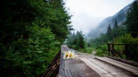 Foco seletivo na flor da camomila na ponte de madeira imagens de stock