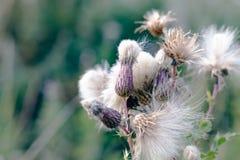 Foco seletivo, plantas macias do cardo em Hampstead Heath de Londres imagens de stock