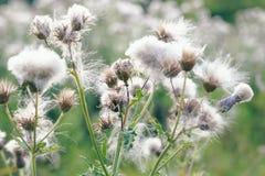 Foco seletivo, plantas macias do cardo em Hampstead Heath de Londres fotos de stock royalty free