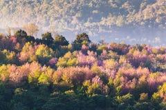 Foco suave Cherry Blossom o flor de Sakura en la naturaleza Fotografía de archivo