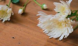 Foco suave, crisantemo blanco Foto de archivo libre de regalías