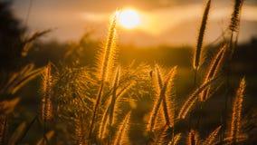 Foco suave de la hierba y de la luz de oro en la oscuridad Imágenes de archivo libres de regalías