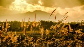 Foco suave de la hierba y de la luz de oro en la oscuridad Foto de archivo libre de regalías