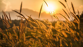 Foco suave de la hierba y de la luz de oro en la oscuridad Imagen de archivo