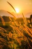 Foco suave de la hierba y de la luz de oro en la oscuridad Foto de archivo