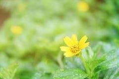Foco suave de poca flor amarilla en prado Fotos de archivo libres de regalías