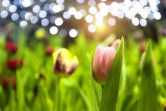 Foco suave de tulipanes rosados con los tulipanes coloridos borrosos del campo y bokeh de la luz Imagenes de archivo