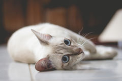 Foco suave de un gato que se relaja en un piso en estilo del color del vintage Fotos de archivo