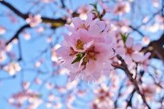 Foco suave del fondo de la flor de la almendra blur Foco selectivo imagen de archivo libre de regalías