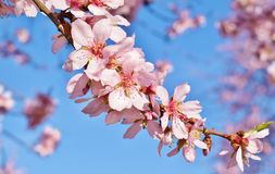 Foco suave del fondo de la flor de la almendra blur Foco selectivo a imagen de archivo
