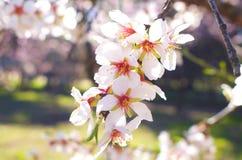 Foco suave del fondo de la flor de la almendra blur Foco selectivo a imagen de archivo libre de regalías