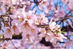 Foco suave del fondo de la flor de la almendra blur Foco selectivo a imágenes de archivo libres de regalías