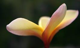 Foco suave del Frangipani Foto de archivo