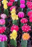 Foco suave del mihanovichii coloreado del Gymnocalycium, a menudo llamado cactus de la barbilla, en la granja para la venta foto de archivo libre de regalías