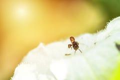 Foco suave en la pequeña abeja que vuela a la flor blanca Melipona Fotos de archivo libres de regalías